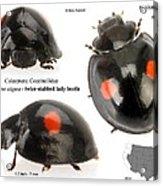 Twice-stabbed Lady Beetle Acrylic Print