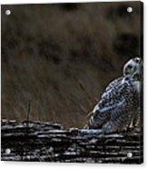 Twilight Owl Acrylic Print