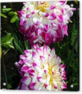 Twin Dahlias Acrylic Print