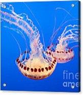 Twin Dancers - Large Colorful Jellyfish Atlantic Sea Nettle Chrysaora Quinquecirrha  Acrylic Print