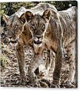 Twin Lions Acrylic Print