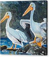 Da208 Twin Pelicans By Daniel Adams Acrylic Print