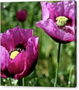 Twin Poppies Acrylic Print