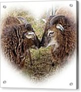 Twin Soays Acrylic Print