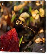 Twin Spotted Wintergreen Pods Acrylic Print