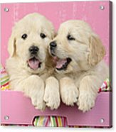 Twin White Labs In Pink Basket Acrylic Print by Greg Cuddiford