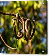 Twirling Vine Tendril Acrylic Print
