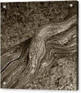 Twisted Root Acrylic Print