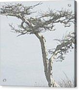 Twisted Tree 2 Acrylic Print