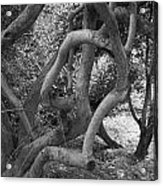 Twisted Trees Acrylic Print