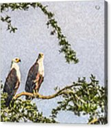 Two African Fish Eagles Haliaeetus Vocifer  Acrylic Print