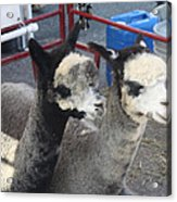 Two Alpacas Acrylic Print