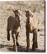 Two Aoudad Babies Playing Acrylic Print