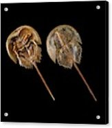 Two Atlantic Horseshoe Crabs Acrylic Print