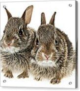 Two Baby Bunny Rabbits Acrylic Print