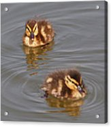 Two Baby Ducklings Acrylic Print