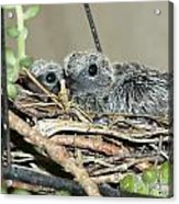 Two Baby Mourning Doves Acrylic Print
