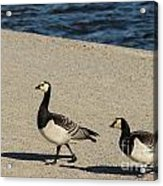 Two Barnacle Geese Acrylic Print