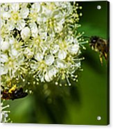 Two Bees On A Rowan Truss - Featured 3 Acrylic Print