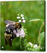 Two Bees On Flower Acrylic Print