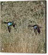 Two Blue Winged Teal Acrylic Print