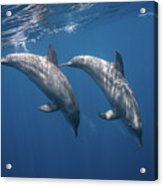Two Bottlenose Dolphins Acrylic Print