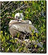 Two Brown Pelicans Acrylic Print