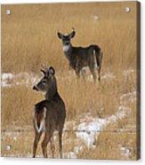 Two Bucks Acrylic Print