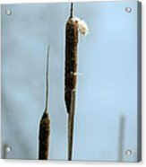 Two Cat Tails Acrylic Print