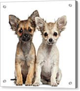 Two Chihuahua Puppies Sitting 3 Months Acrylic Print