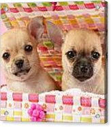 Two Chihuahuas Acrylic Print by Greg Cuddiford