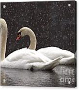 Two Christmas Swans A Swimming Acrylic Print