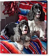 Two Cocker Spaniels Together Acrylic Print