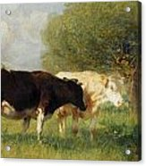 Two Cows In A Meadow Acrylic Print