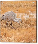 Two Cranes In The Field Acrylic Print