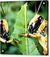 Two Desert Locusts Eating Acrylic Print