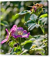 Two Dogroses Summer 2014 Acrylic Print