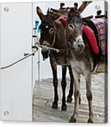 Two Donkeys Tethered In The Street In Acrylic Print