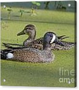 Two Ducks Passing By Acrylic Print