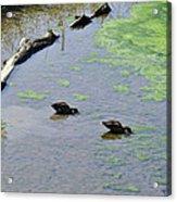 Two Eating Ducks Acrylic Print