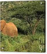 Two Elephants Walking Through The Grass Acrylic Print
