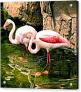 Two Flamingos Acrylic Print
