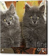 Two Fluffy Kittens Acrylic Print