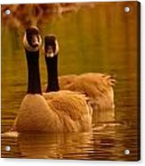Two Geese In A Line Acrylic Print