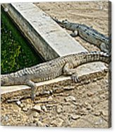 Two Gharial Crocodiles In Gharial Conservation Breeding Center In Chitwan Np-nepal   Acrylic Print