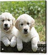 Two Golden Retriever Puppies Acrylic Print