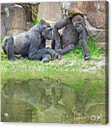 Two Gorillas Relaxing II Acrylic Print