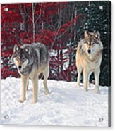 Two Gray Wolves Acrylic Print