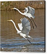 Two Greater Egrets  Acrylic Print