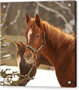 Two Horses In Winter Day Acrylic Print
